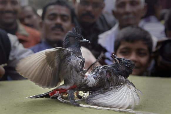 "Spectators watch as two bulbuls fight during a traditional bird fight during the Assamese harvest festival ""Bhogali Bihu"" in Hajo, about 45 kilometers (28 miles) west of Guwahati."
