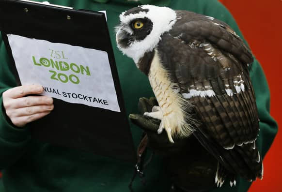 A Spectacled Owl looks at a clipboard during a photo call for the annual stock take at London Zoo. More than 17,500 animals including birds, fish, mammals, reptiles and amphibians are counted in the annual stock take at the zoo.
