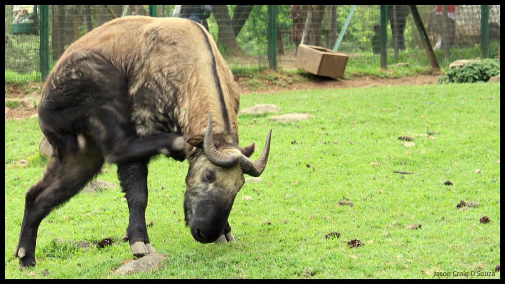 Takin, the national animal of Bhutan, can be seen at the Upper Motithang Zoo in Thimphu. Image Courtesy Jason Craig D'Souza