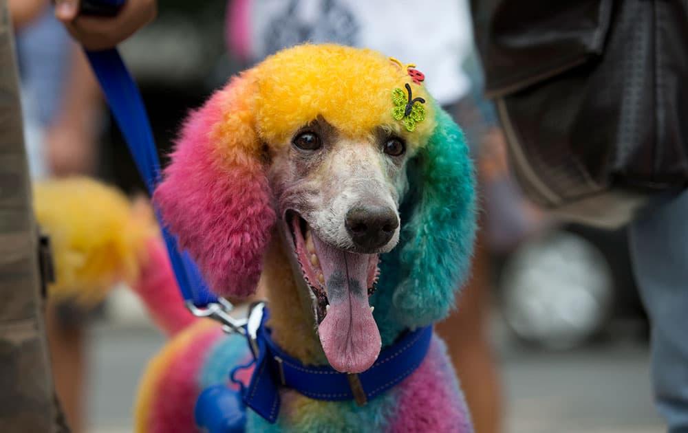 A multicolored dog is seen during the `Blocao` dog carnival in Rio de Janeiro, Brazil.