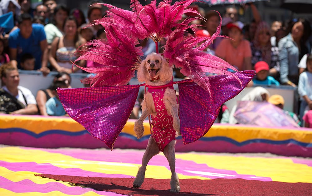 A circus dog performs in costume during a free public show to protest Mexico City`s ban on circus animals, other than horses and dogs, in Mexico City`s main square, the Zocalo.