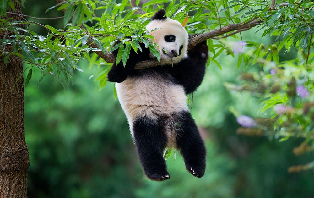 Panda cub Bao Bao hangs from a tree in her habitat at the National Zoo in Washington.