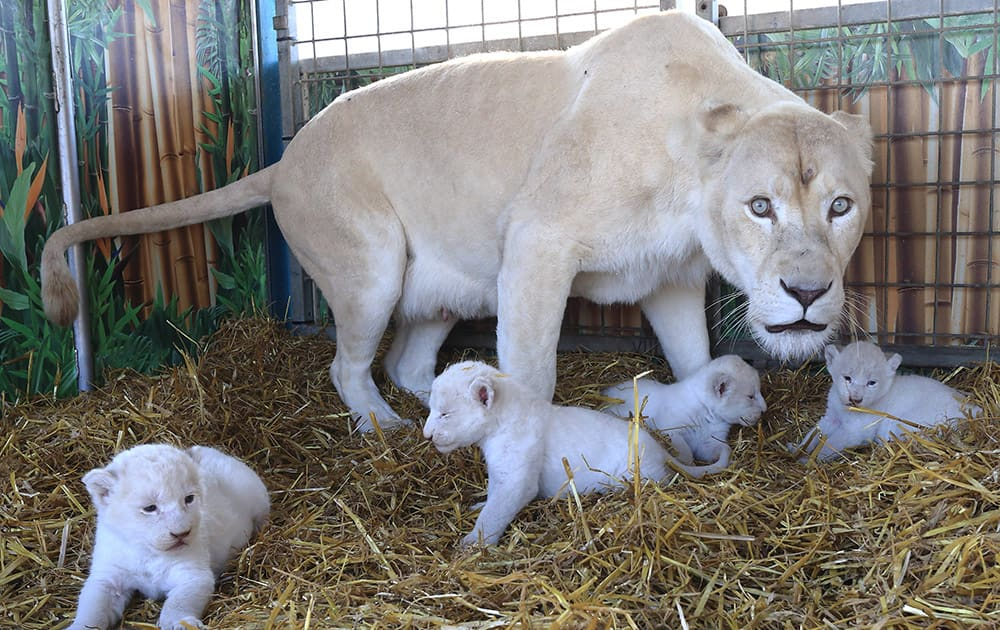 Four white lion cubs with their mother `Princess` at the Circus Krone in Magdeburg, eastern Germany.