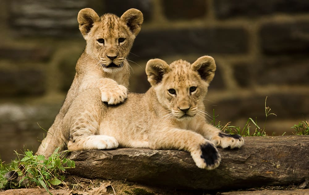 African lion cubs sit in their enclosure during their debut at the Philadelphia Zoo .