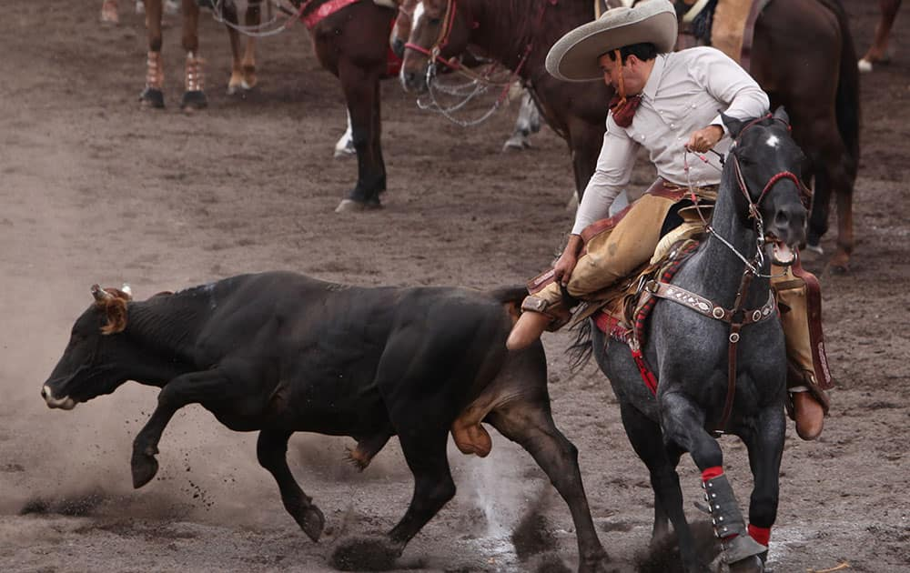 A Charro, as Mexican cowboys are known, pulls down a bull during a Charreada in Mexico City.