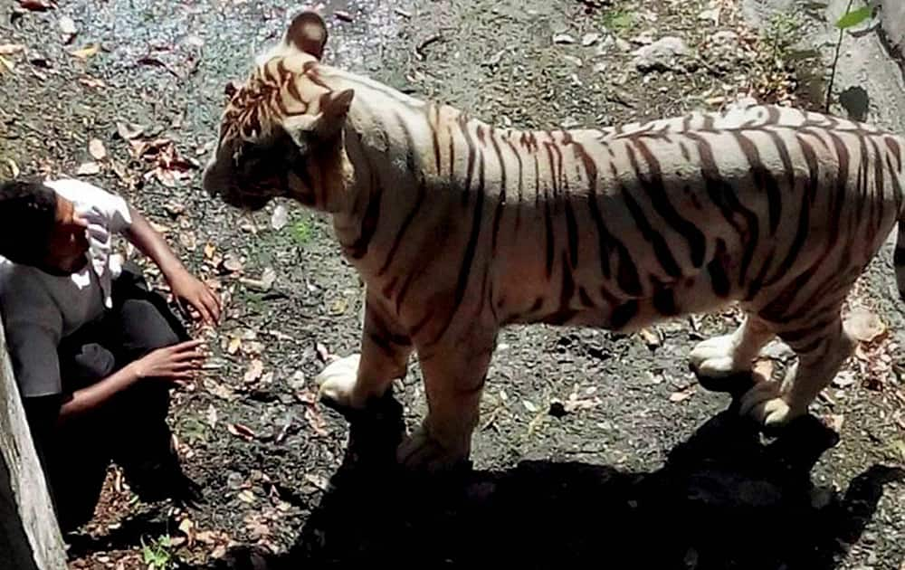An irate White Tiger staring at a student after he fell in its enclosure at the Delhi Zoo.