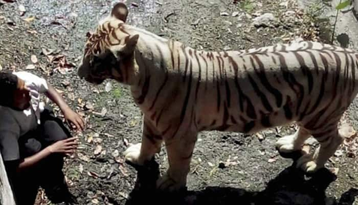 White tiger who mauled youth at Delhi zoo eats 10 kg meat daily