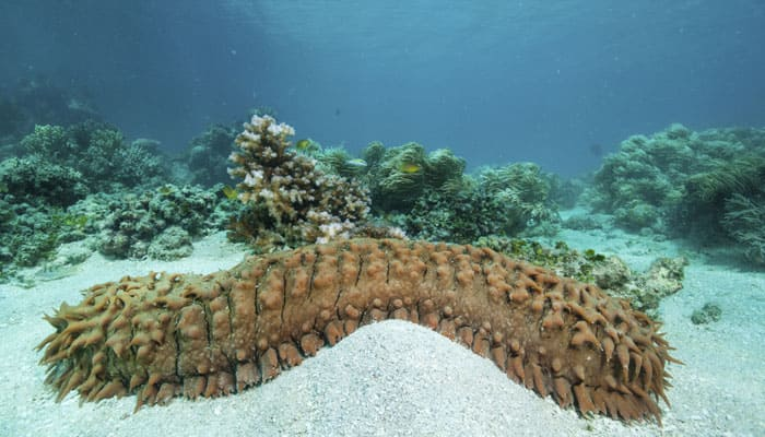 Depletion of Sea Cucumbers endangers marine eco system
