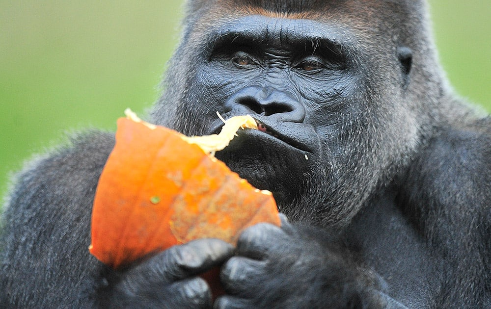 Gorilla Koko enjoys a pumpkin tossed into his habitat at the Detroit Zoo.