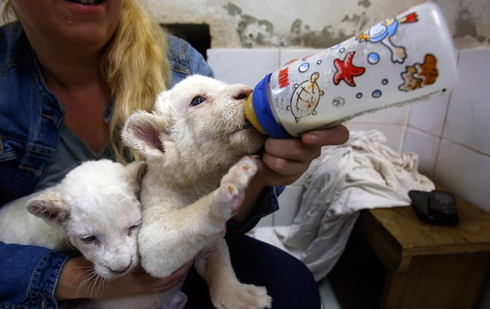 Zookeeper Nadezda Radovic feeds three week old white lion cubs with a baby's bottle at Belgrade Zoo, Serbia.