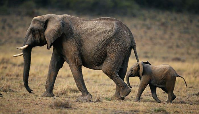 Elephants can detect rainstorms 240 km away
