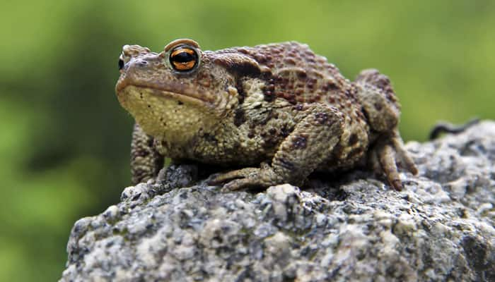 Rare frog that breeds inside hollow stem of bamboo