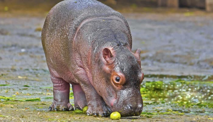 Los Angeles Zoo welcomes birth of baby hippo in 26 years