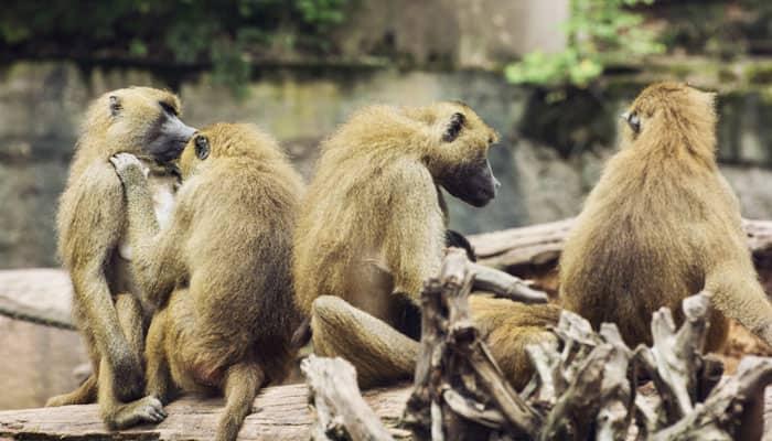 Himachal HC concerned over monkey menace