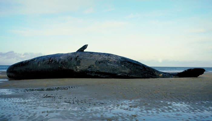Massive whale beached in southern Nicaragua