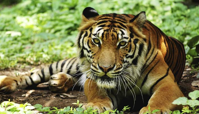 Indian wildlife managers use 'camera trap images' to identify conflict-prone tigers