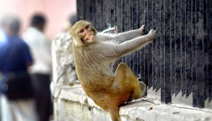 Himachal wants monkeys off its back