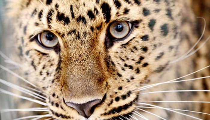 Leopards reside along with human beings, find researchers