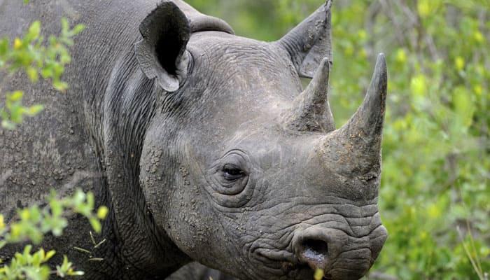 Poachers kill one-horn rhino in Kaziranga National Park
