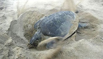 Olive Ridley turtles begin to arrive for breeding