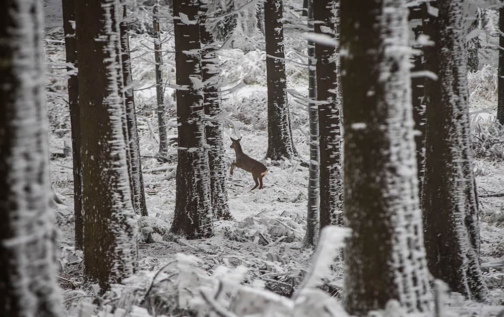 A deer scared by a stroller jumps through the ice and snow covered forest at the Grosser Feldberg mountain, in central Germany.