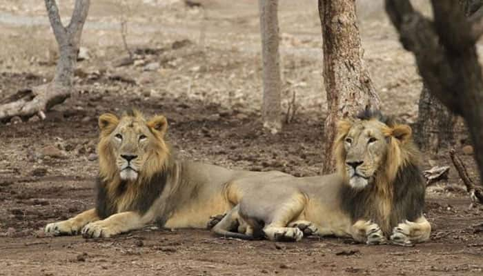 Asiatic lions in Gir facing threat from poachers: Govt