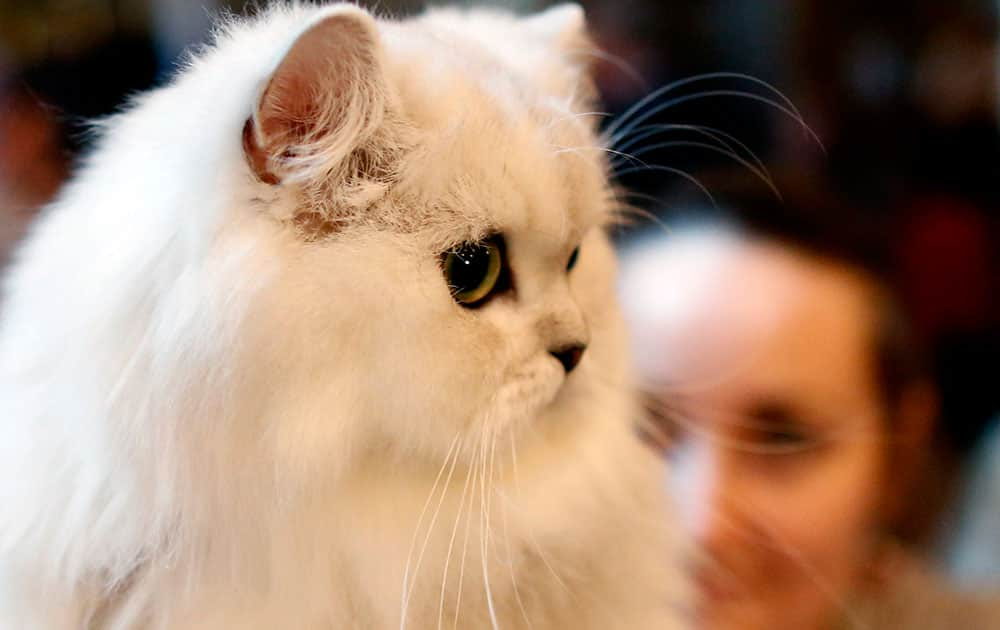 An owner prepares a cat for an international cats competition in Belgrade, Serbia. Up to 100 cats mainly from countries in central and eastern Europe entered the competition.