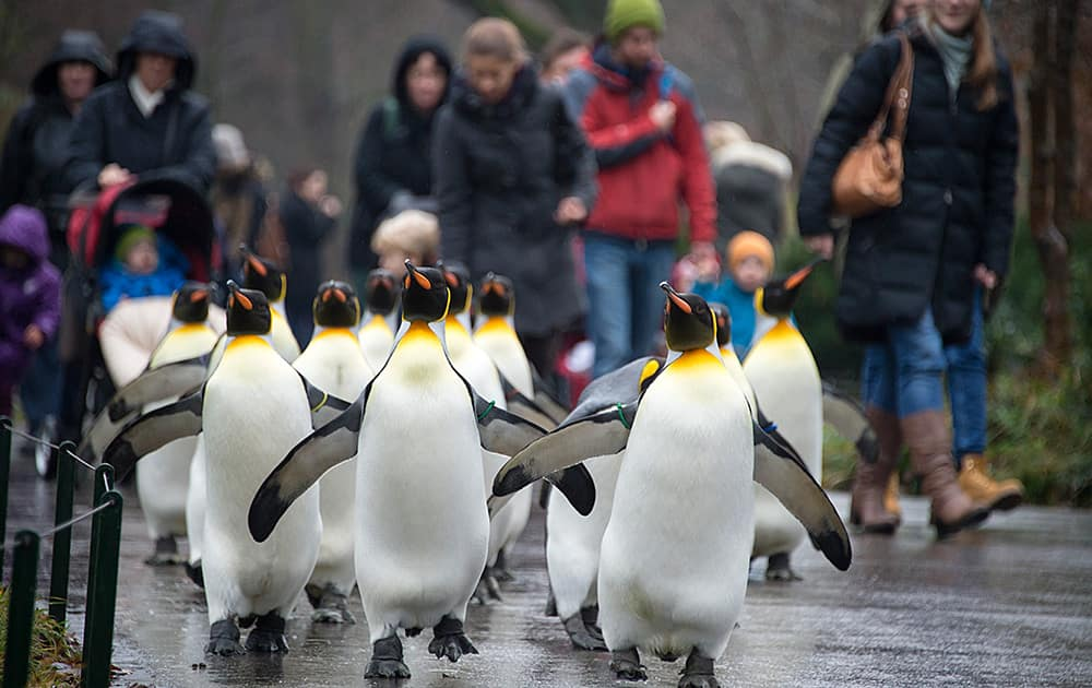Visitors follow king penguins (aptenodytes patagonicus) as they march through the Zoo in Basel, Switzerland. The king penguins are only let outdoors for a walk in the winter, because they naturally require low temperatures.