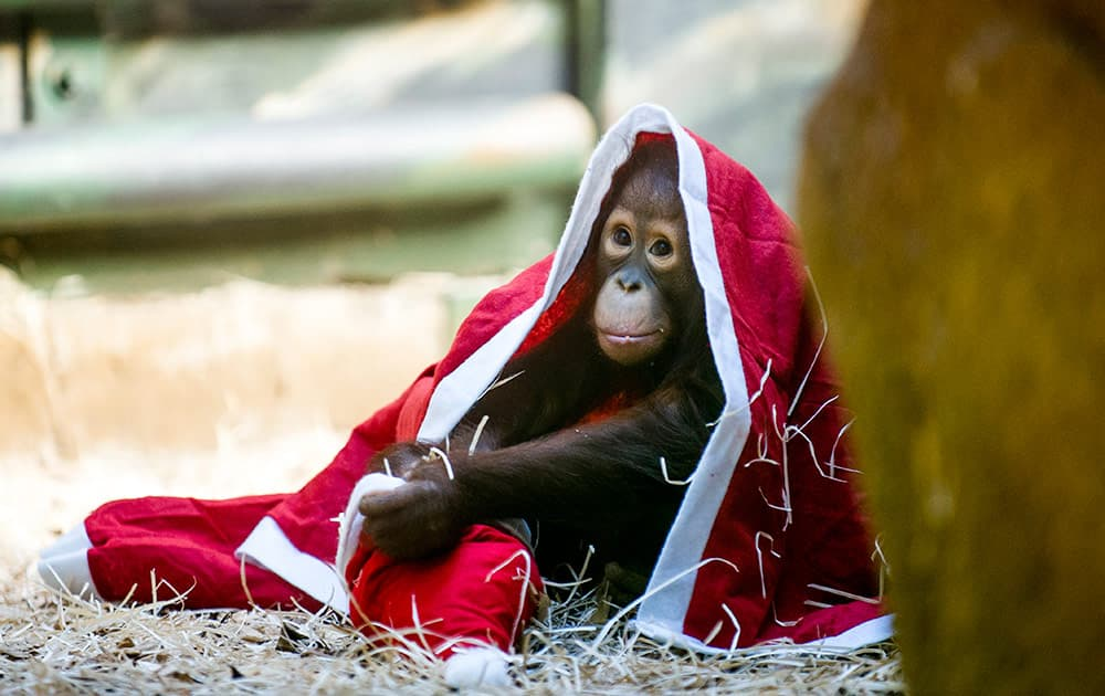 A baby orangutan plays with a Christmas costume at the zoo in Dvur Kralove nad Labem, 146 kilometers east of Prague, Czech Republic.