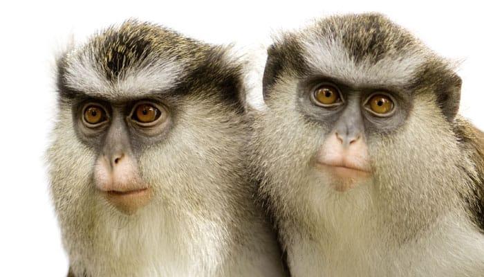 Monkeys far smarter than thought