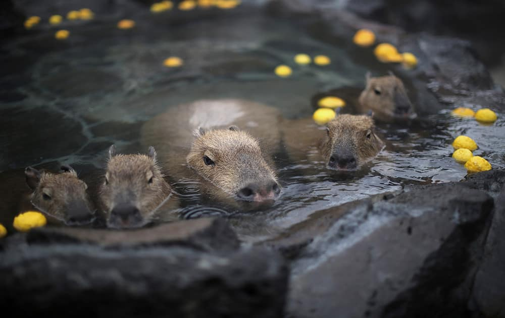 Capybara soak in hot spring with citron at a park in Ito, Shizuoka Prefecture in Japan. Capybaras prefer open-air hot spring to keep themselves warm in this time of the year.