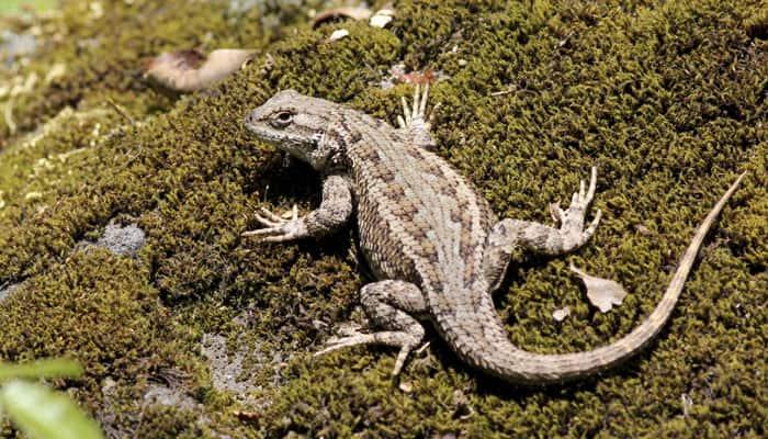 Small lizard species found in Australia