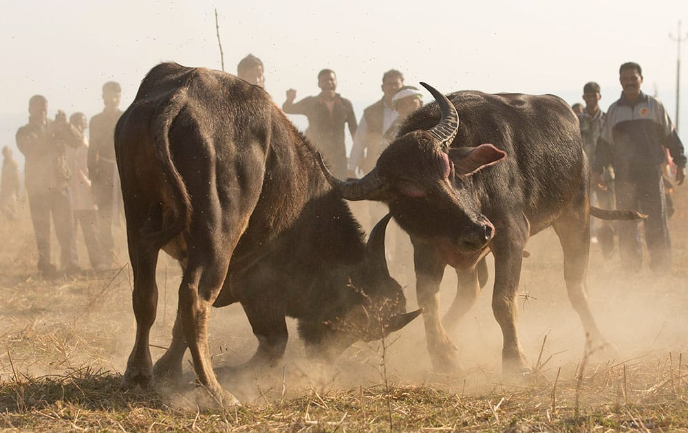 Spectators watch a buffalo fight in Ahatguri, in the northeastern Indian state of Assam.villagers organized the buffalo fight as part of festivities to celebrate the Annual Magh Bihu, a harvest festival.