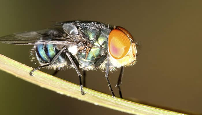 Scientists extend life of flies by 60 percent