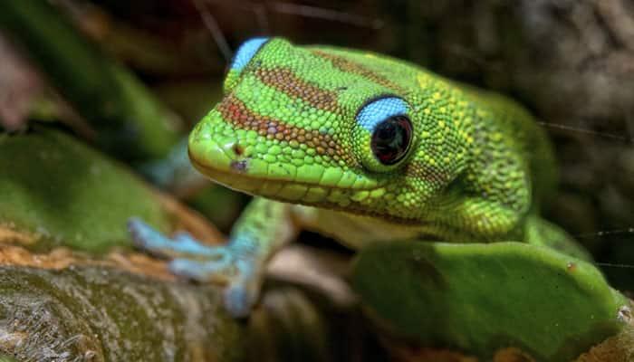 Man arrested with endangered geckos in Assam