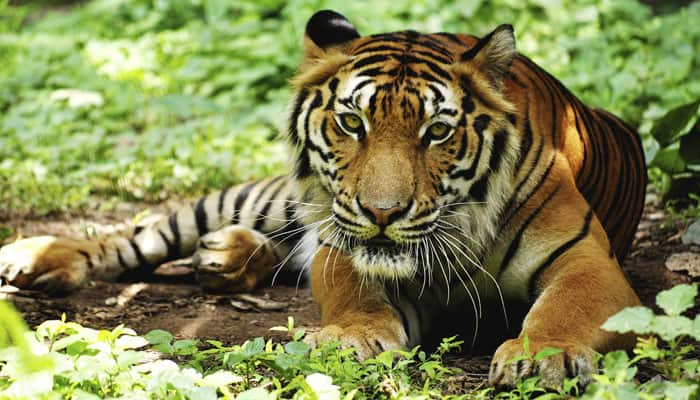 Odisha concerns over decline in tiger population