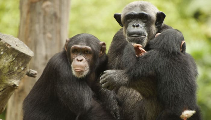 Offspring of dominant chimp mothers win more fights