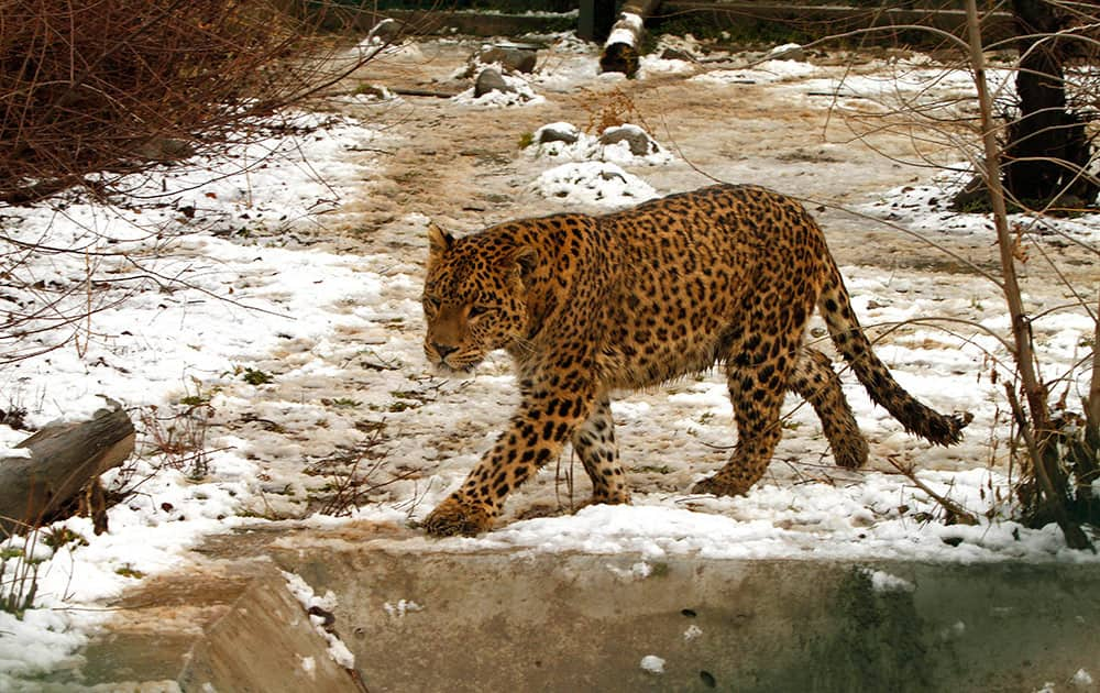 A leopard walks in its snow covered enclosure at the Dachigam National Park on the outskirts of Srinagar, Indian controlled Kashmir.