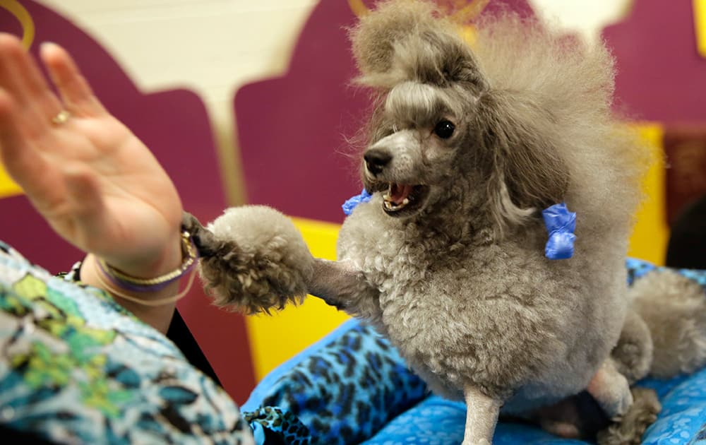 Lori Logli plays with her toy poodle, Manny, in the benching area at the Westminster Kennel Club dog show, at Madison Square Garden in New York.