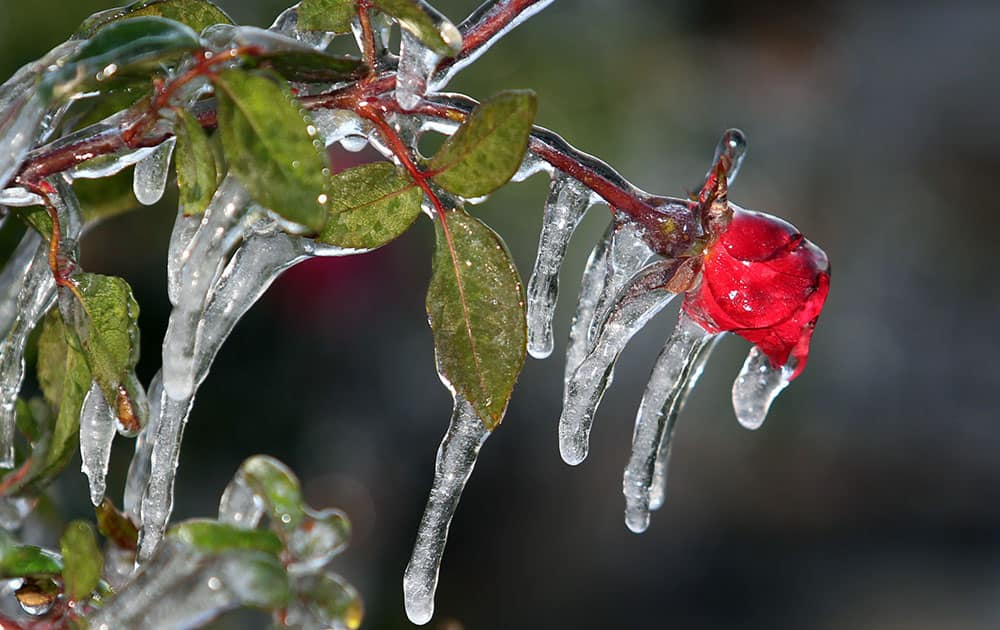 As temperatures dipped to 28 degrees, workers covered acres of plants with frost cloth and also sprayed water encasing the roses in a cocoon of ice.