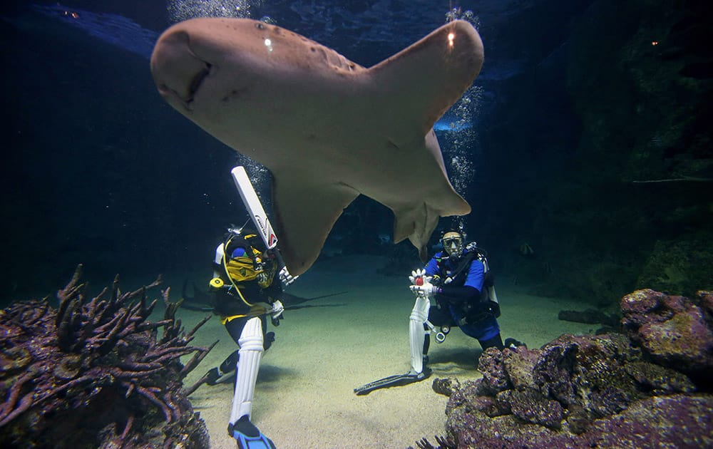 Bruce, a leopard shark, swims between Sydney Aquarium divers Alicia Lloyd and Amanda Elzer as they play a mock game of cricket surrounded by sharks and other exotic fish in Sydney.