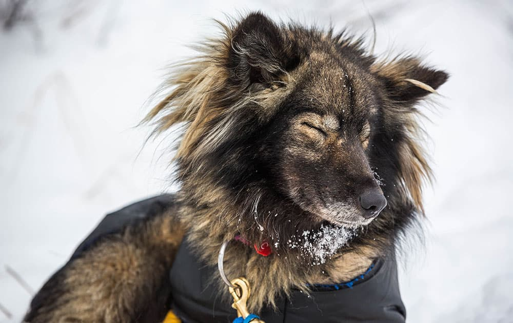 Chilkat, one of Jessie Royer's dogs, gets some shuteye at the Koyuk, Alaska, checkpoint during the Iditarod Trail Sled Dog Race.