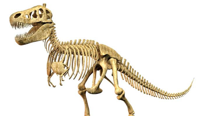 Tail bone reveals dinosaur's gender