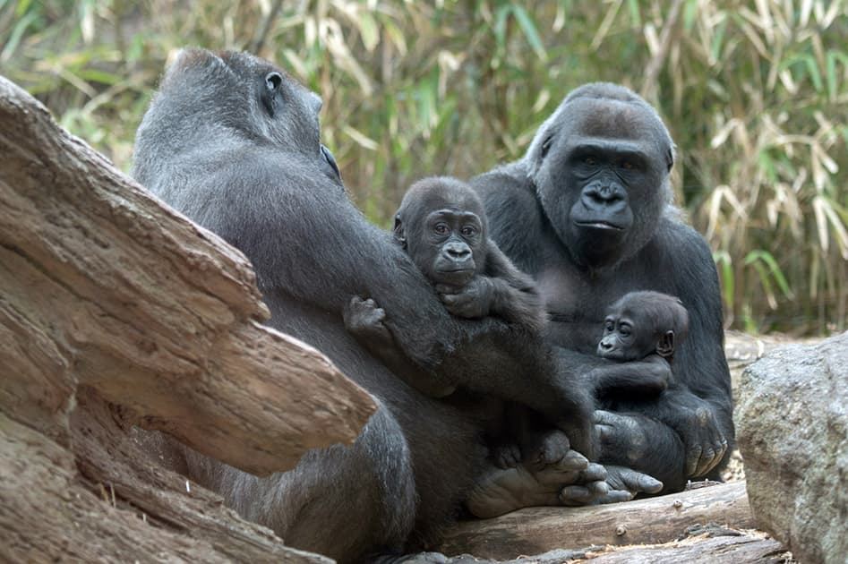 This photo provided by the Wildlife Conservation Society, a pair of infant lowland gorillas sits with their respective mothers at the Congo Gorilla Forest exhibit in New York City's Bronx Zoo.