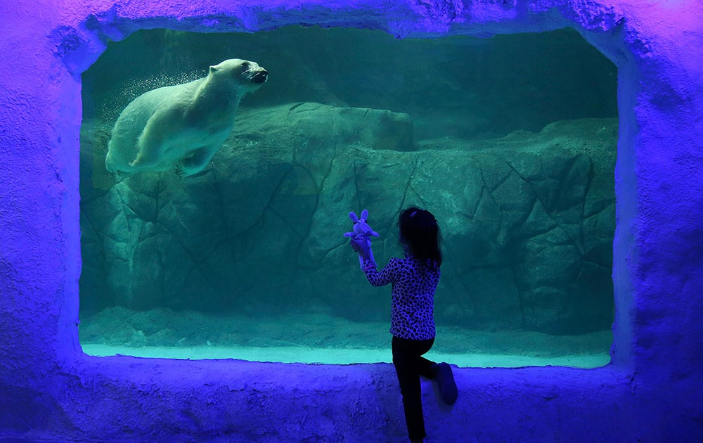 A visitor holds up her toy bunny to the aquarium glass, as Aurora the Russian polar bear swims in her tank at the Sao Paulo Aquarium, in Sao Paulo, Brazil.