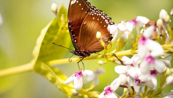 Rare species of butterfly discovered in Manipur