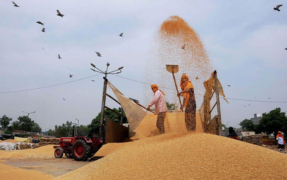 Farmers shifting wheat in a grain market in Amritsar, Punjab.
