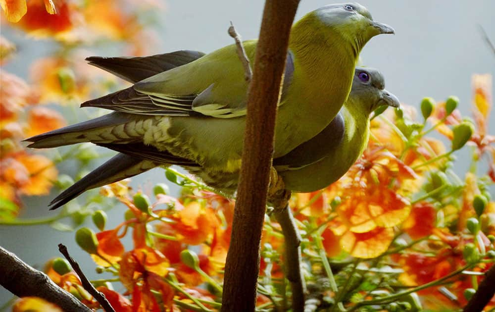 A pair of Yellow footed green pigeon sits atop a gulmohan tree in New Delhi.