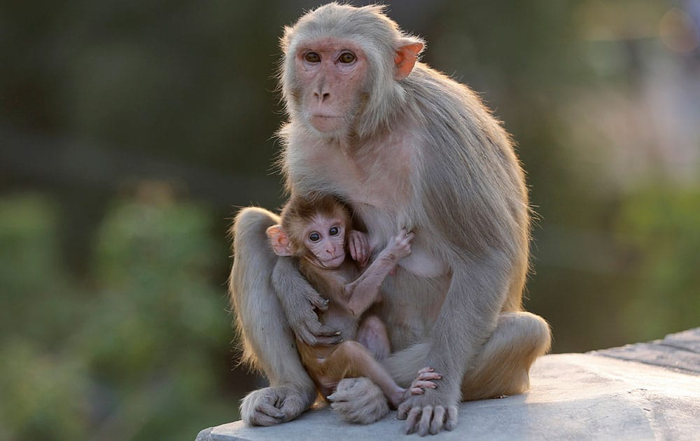A monkey sits with its baby by a roadside on the outskirts of Allalhabad, India.