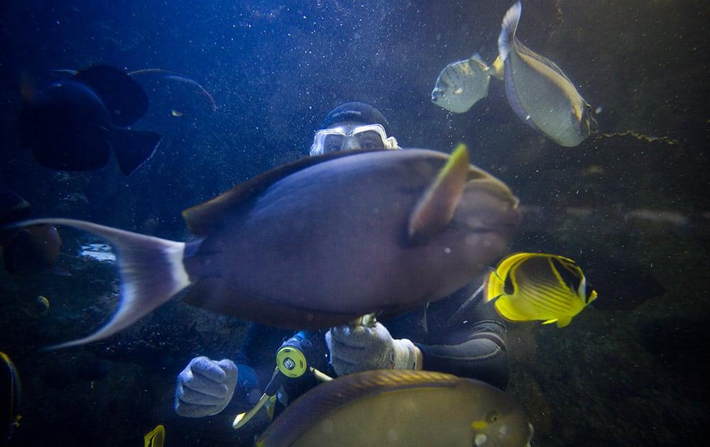 A volunteer diver hand-feeds fish at the Newport Aquarium, in Newport, Ky.